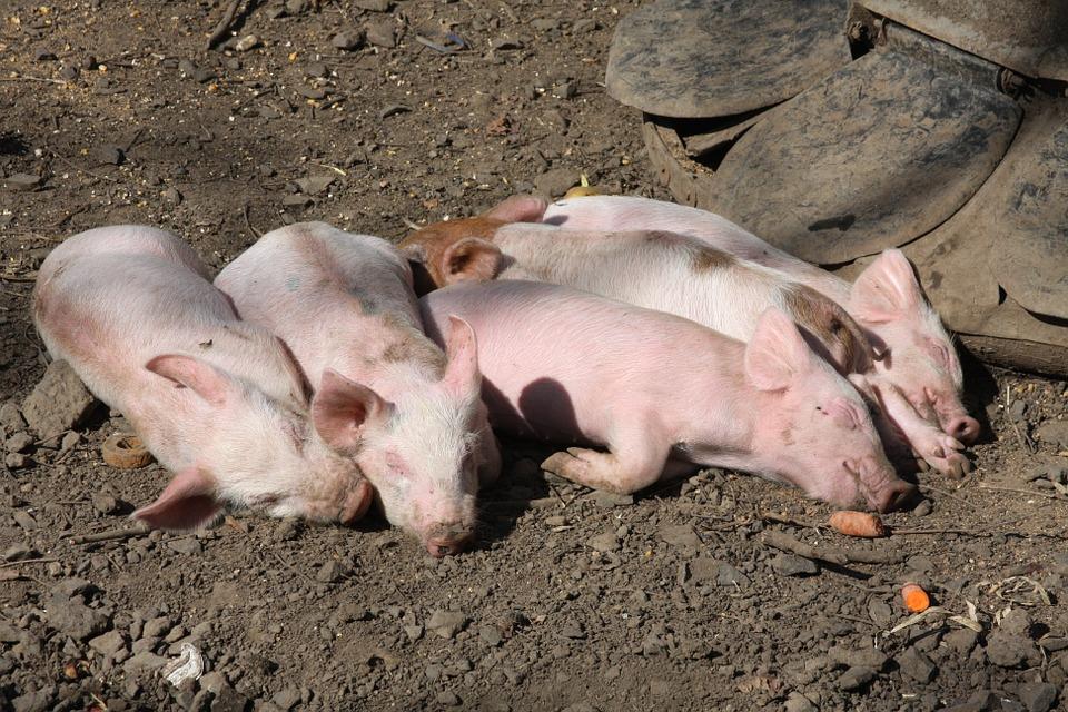 pigs-380471_960_720.jpg