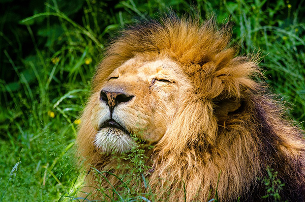 african-lion-951778_960_720.jpg